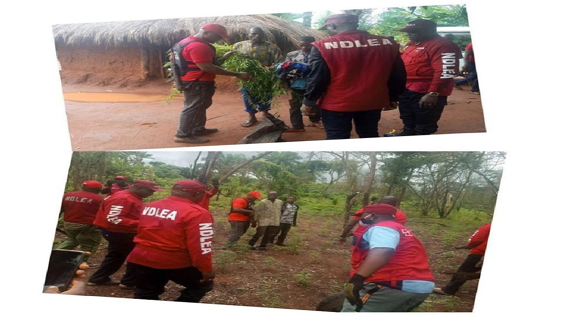 Take my life instead of destroying my cannabis farm-suspect pleads with NDLEA