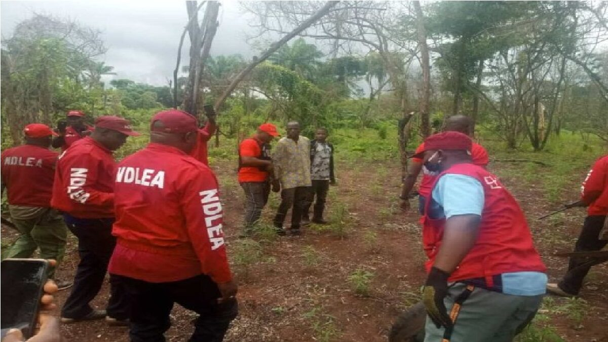 Photo of Take my life instead of destroying my cannabis farm-suspect pleads with NDLEA