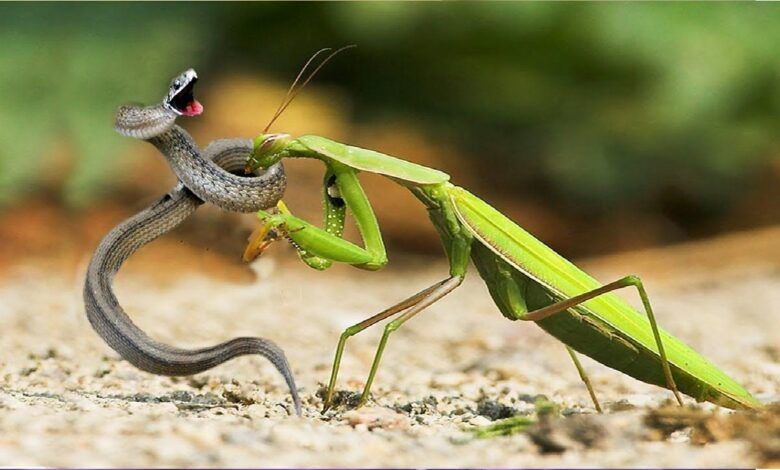 9 Reasons Why Snakes Are Afraid Of Praying Mantises