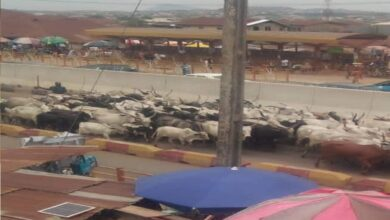 Herdsmen flee as Amotekun arrests 100 cows for Grazing violations in Ondo