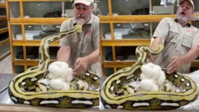 Massive Python Bites US Zookeeper's Face As He Tries To Move Her Eggs