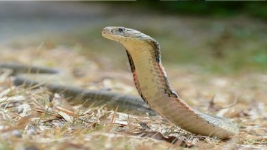 This Is Why King Cobra Hates Other Snakes(VIDEO)