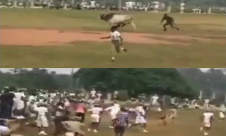 Cow Invades NYSC Orientation Camp, Disrupts Parade, Corpers Run in Ogun